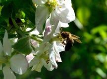 Manosee la abeja en la flor blanca de la primavera Fotos de archivo libres de regalías