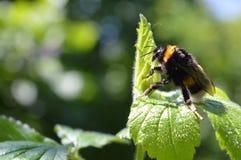 Manosee la abeja en la flor, cierre para arriba Foto de archivo