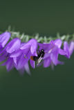 Manosee la abeja en la flor de Bell Foto de archivo