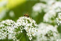 Manosee la abeja en la flor de la cebolleta Fotografía de archivo