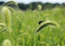 Manosee la abeja en la flor de la hierba Imágenes de archivo libres de regalías