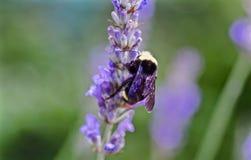 Manosee la abeja en la flor de la lavanda Foto de archivo libre de regalías