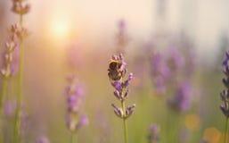Manosee la abeja en la flor de la lavanda Imágenes de archivo libres de regalías