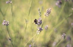 Manosee la abeja en la flor de la lavanda Fotos de archivo