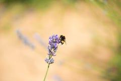 Manosee la abeja en la flor de la lavanda Fotos de archivo libres de regalías