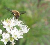 Manosee la abeja en la flor del allium Fotografía de archivo libre de regalías