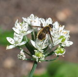 Manosee la abeja en la flor del allium Fotos de archivo libres de regalías