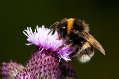 Manosee la abeja en la flor del cardo Imagenes de archivo