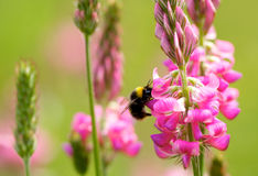 Manosee la abeja en la flor del color de rosa salvaje Fotos de archivo