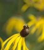 Manosee la abeja en la flor del cono Imagen de archivo