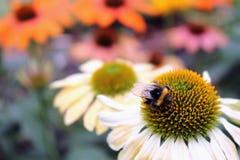 Manosee la abeja en la flor del Echinacea Imagenes de archivo