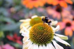 Manosee la abeja en la flor del Echinacea Imágenes de archivo libres de regalías