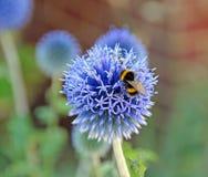 Manosee la abeja en la flor del echinops Foto de archivo