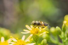 Manosee la abeja en la flor del resorte Fotos de archivo