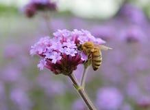 Manosee la abeja en la flor del resorte Imagen de archivo
