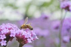 Manosee la abeja en la flor del resorte Fotografía de archivo libre de regalías