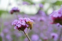 Manosee la abeja en la flor del resorte Imagen de archivo libre de regalías
