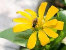 Manosee la abeja en la flor del resorte Foto de archivo libre de regalías