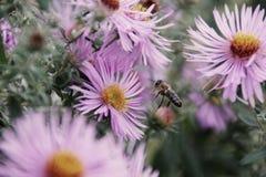 Manosee la abeja en la flor del resorte imágenes de archivo libres de regalías