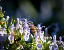 Manosee la abeja en la flor del resorte Fotografía de archivo