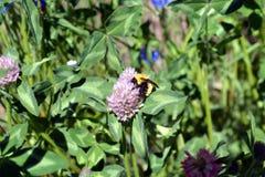 Manosee la abeja en la flor del trébol Imagenes de archivo