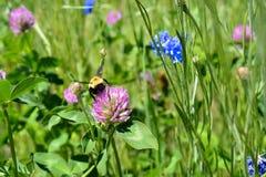 Manosee la abeja en la flor del trébol Imagen de archivo