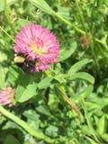 Manosee la abeja en la flor del trébol rojo Imagen de archivo libre de regalías