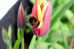Manosee la abeja en la flor del tulipán Foto de archivo libre de regalías
