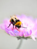 Manosee la abeja en la flor púrpura Fotos de archivo