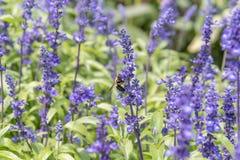 Manosee la abeja en la flor púrpura Imágenes de archivo libres de regalías