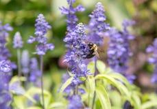 Manosee la abeja en la flor púrpura Imagen de archivo libre de regalías
