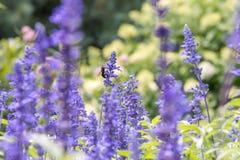 Manosee la abeja en la flor púrpura Fotografía de archivo