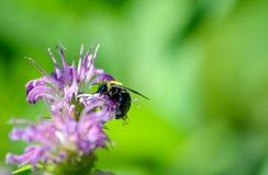 Manosee la abeja en la flor púrpura del bálsamo de abeja Imagen de archivo