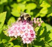 Manosee la abeja en la flor rosada Imágenes de archivo libres de regalías