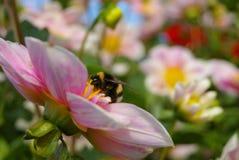 Manosee la abeja en la flor rosada Fotografía de archivo libre de regalías