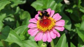 Manosee la abeja en la flor rosada de Zinia