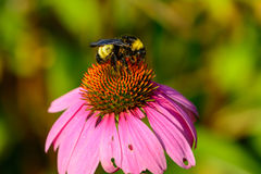 Manosee la abeja en la flor rosada del cono y x28; Purpurea& x29 del Echinacea; Foto de archivo libre de regalías