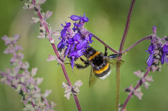 Manosee la abeja en la flor salvaje Imágenes de archivo libres de regalías
