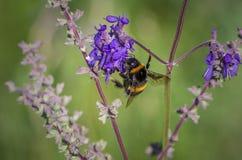 Manosee la abeja en la flor salvaje Fotos de archivo