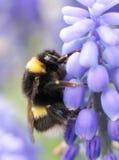 Manosee la abeja en la flor violeta Imágenes de archivo libres de regalías