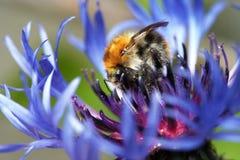 Manosee la abeja en la floración Fotografía de archivo