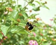 Manosee la abeja en la hoja en tonalidad verde Fotos de archivo libres de regalías
