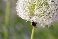 Manosee la abeja en la inflorescencia floreciente del ajo Fotografía de archivo
