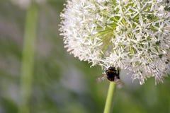 Manosee la abeja en la inflorescencia floreciente del ajo Foto de archivo