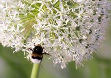 Manosee la abeja en la inflorescencia floreciente del ajo Fotografía de archivo libre de regalías
