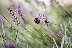 Manosee la abeja en la lavanda Foto de archivo libre de regalías