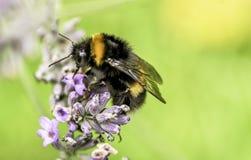 Manosee la abeja en la lavanda Imagen de archivo libre de regalías