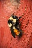 Manosee la abeja en la madera roja Imagen de archivo