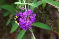 Manosee la abeja en la mariposa Bush Imagenes de archivo