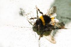 Manosee la abeja en la pared de piedra pintada blanca Fotografía de archivo